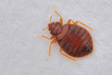 Bed Bugs Treatment Brisbane